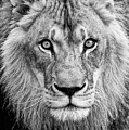 Lion Bw by Christopher Cook