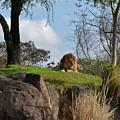 Lion Country by Carol  Bradley