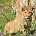 Lion Cub 2 by Marv Vandehey
