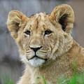 Lion Cub Close Up by Steve McKinzie