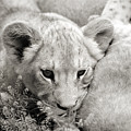 Lion Cub by Marilyn Hunt