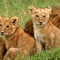 Lion Cubs - Too Cute by Nancy D Hall
