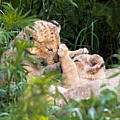 Lion Cubs At Play by Randy Gebhardt