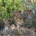 Lion Cubs Awaiting Mom by Sandra Bronstein