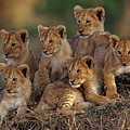 Lion Cubs by Joe McDonald and Photo Researchers