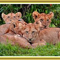 Lion Cubs. L A With Decorative Ornate Printed Frame. by Gert J Rheeders