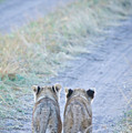 Lion Cubs Walking Together In Masai Mara by Mehmed Zelkovic