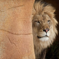 Lion Emerging    Captive by Steve Gadomski