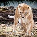 Lion Eyes by John Wadleigh