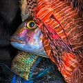 Lion Fish by Jacqueline Sue Photography