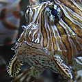 Lion Fish Profile by Carol Groenen