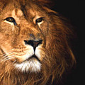 Lion Head Oil Painting by John Williams