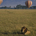 Lion Ignores Balloons by Carl Purcell