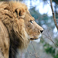 Lion In Thought by Athena Mckinzie