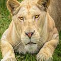 Lion Nature Wear by LeeAnn McLaneGoetz McLaneGoetzStudioLLCcom