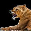 Lion On Black by Gabriel Jardim