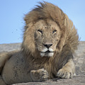 Lion On Mound by Bryan Pereira