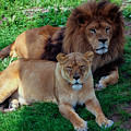 Lion Pair by Ajit Vikram