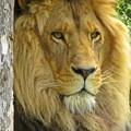 Lion Portrait by Crystal Loppie