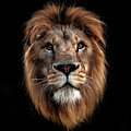 Lion Portrait by Tom Dolezal