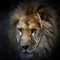 Lion Portraits 0055 by G Berry