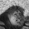 Lion by Richard Hughes