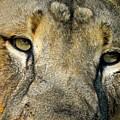 Lion  by Richard Martinez
