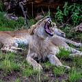 Lion Roar/2 by Dr William Kane Olwit