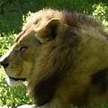 Lion by Sherri Johnson