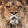 Lion by Steve Mackay