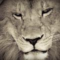 Lion by Tonya Laker