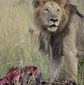 Lion With Kill by Bryan Pereira