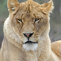 Lioness       by Bob Cuthbert