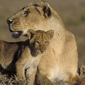 Lioness And Her Cub  by Sandra Bronstein