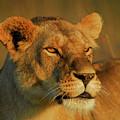 Lioness At Maasai Sunet by Owen Ashurst