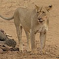 Lioness At The Kill by Larry Linton