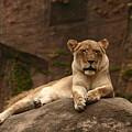 Lioness by B Rossitto