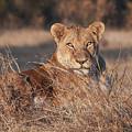 Lioness by Carl R Schneider