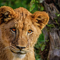 Lioness Cub by Tommy Anderson