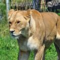 Lioness by Glenn Gordon