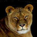 Lioness. No.2 by RL Clough