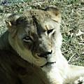 Lioness Peering by Ronald Reid