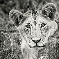 Lioness Portrait by Robin Zygelman