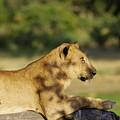 Lioness Pose by Shivakumar Selvaraj