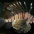 Lionfish by Aivar Mikko