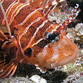 Lionfish Closeup by Gary Hughes