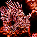 Lionfish Of The Sea by Lucky Chen