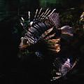 Lionfish by Pati Photography