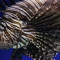 Lionfish by Paulette Thomas