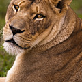 Lions Beauty by Chad Davis